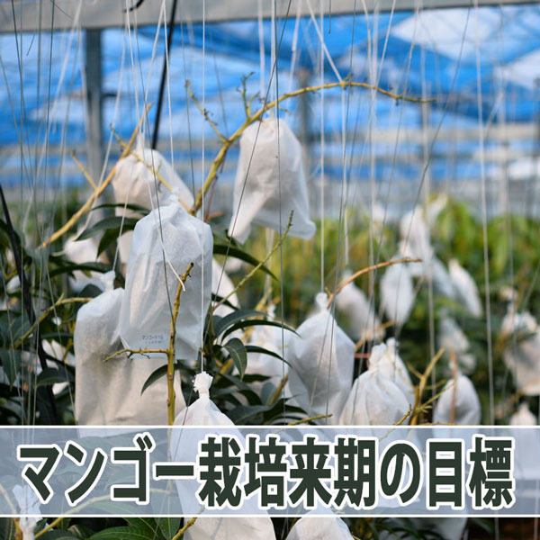 【マンゴー栽培】私が来期の目標として考えていること! | 花徳マンゴー