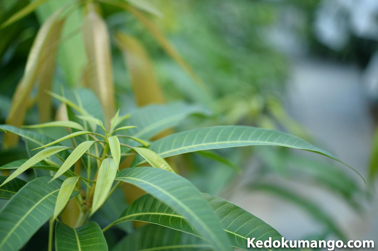 マンゴーの新芽が吹出してきている所-2