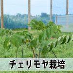 2016年7月の【チェリモヤ】の成長の様子をご紹介!