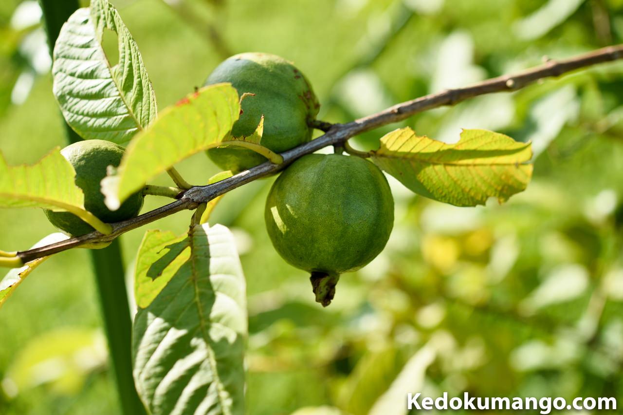 7月27日のグアバの果実肥大の様子