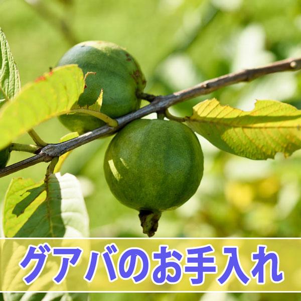 もう一ヶ月で収穫か!?【グアバ】の成長の様子をご紹介! | 花徳マンゴー