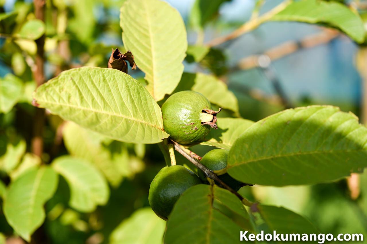 キンググアバの果実肥大の様子-3