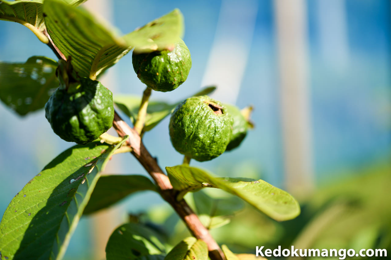 島バンジロウの果実-2