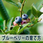 【ブルーベリー】が今期最後の収穫となりました!