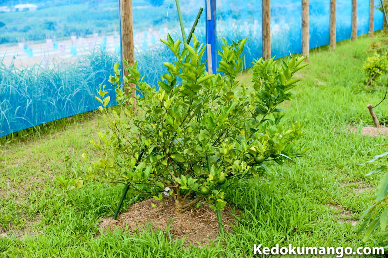 7月下旬のレモンの樹