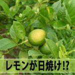 【レモン栽培】果実が日焼けする!?