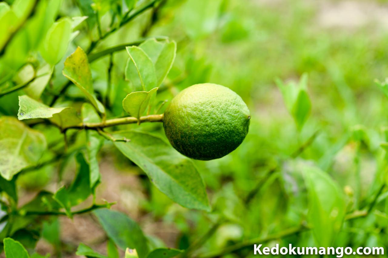 陽の当たる部分のレモンの果実-2
