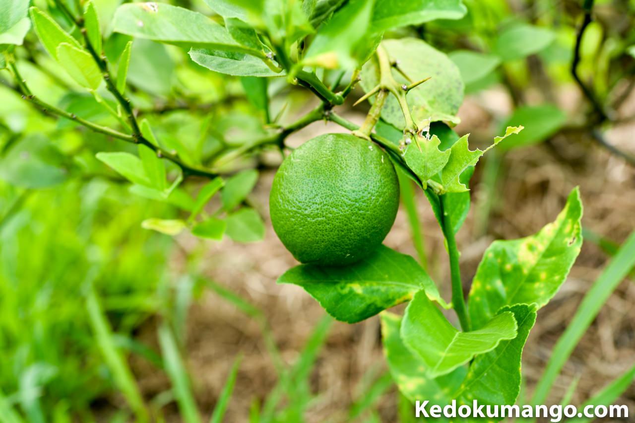 葉に隠れている部分のレモン