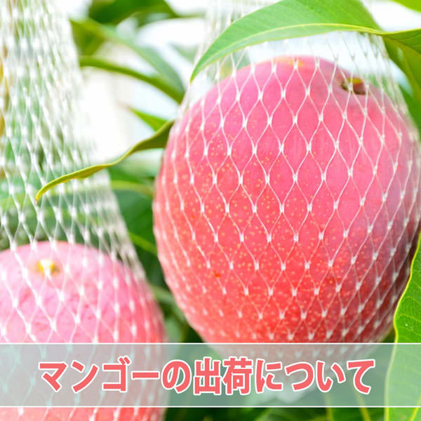 【マンゴー】の出荷作業が本格化してまいりました! | 花徳マンゴー