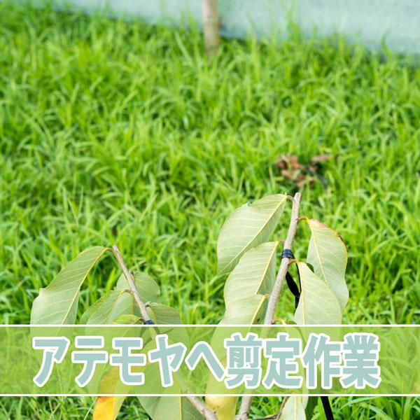 世界三大美果の【チェリモヤ】に剪定作業を施しました! | 花徳マンゴー