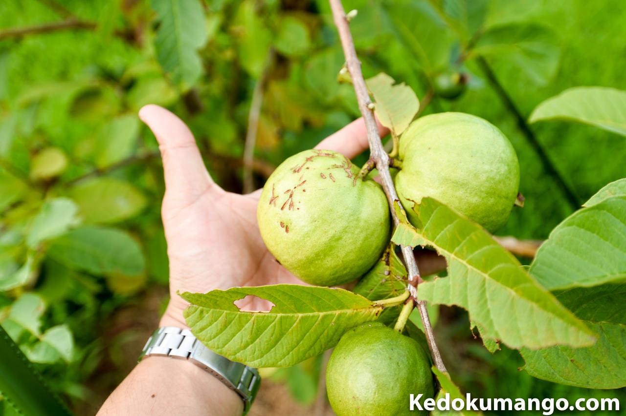 8月4日のグアバの果実の様子