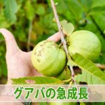 果樹の成長期における【灌水作業】の重要性を実感しました!