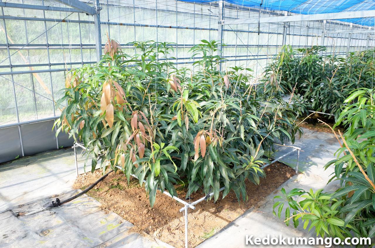 剪定前のマンゴーの樹