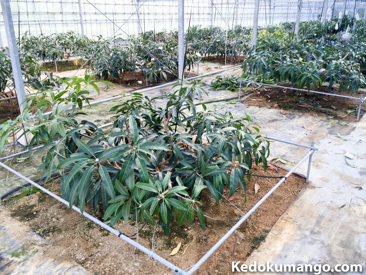 夏季剪定を施したマンゴーの樹_1