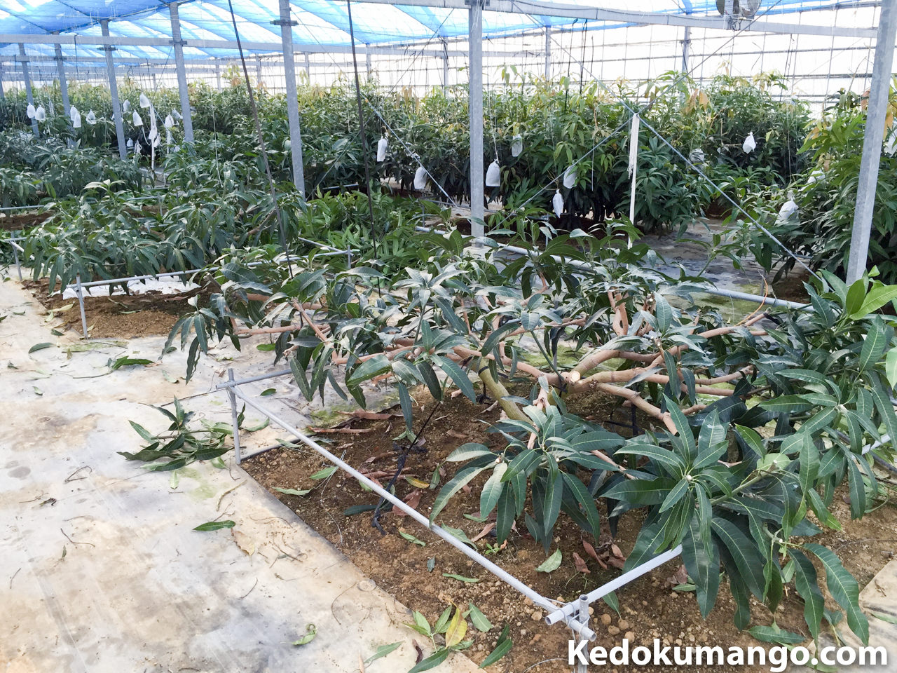 夏季剪定を施したマンゴーの樹_2