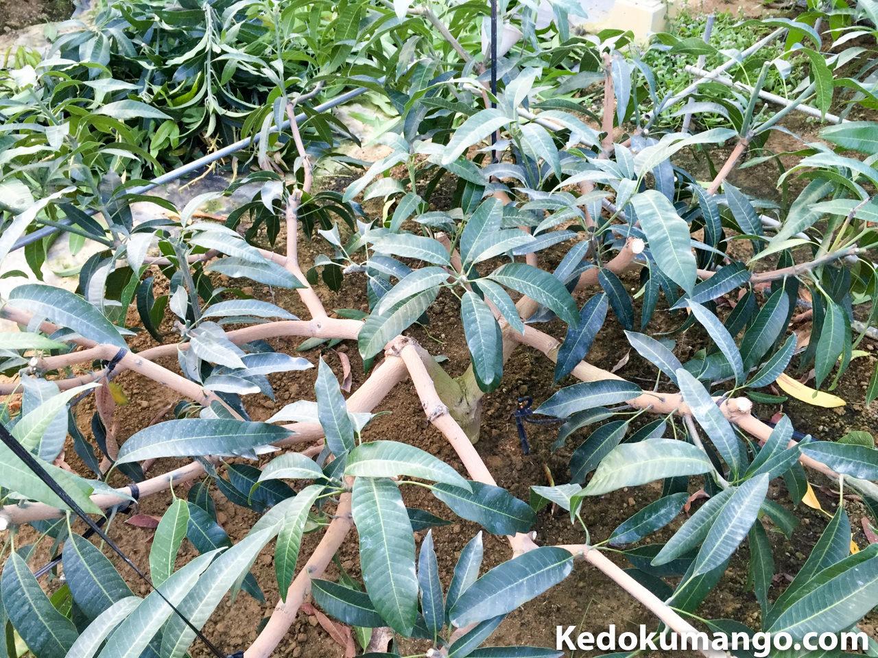 夏季剪定をおこなったマンゴーの枝
