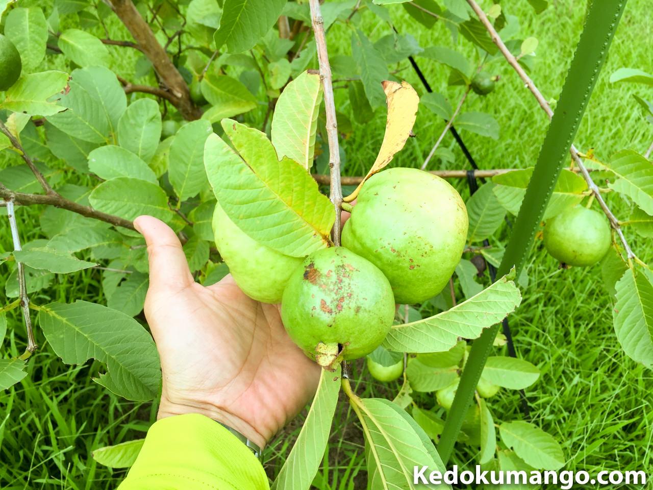 キンググアバの果実-1