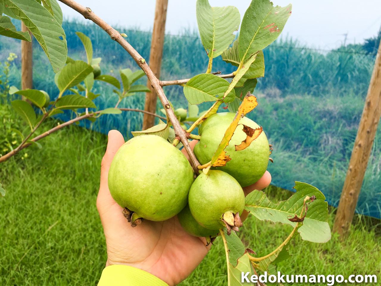キンググアバの果実-2