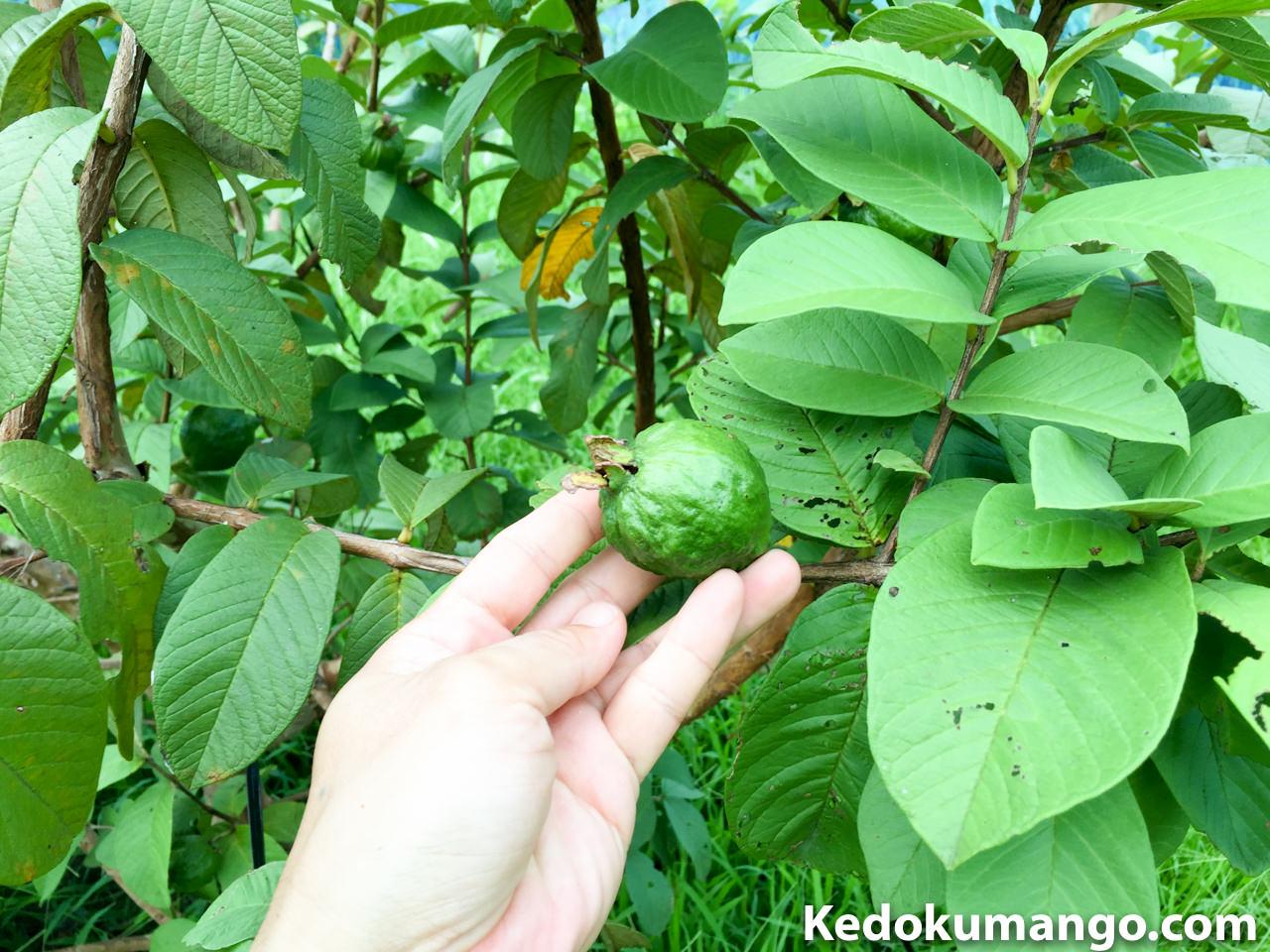 島バンシロウの果実の様子