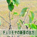 【チェリモヤ栽培】剪定後の新芽の吹出し方を学んだよ!