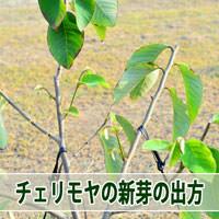 【チェリモヤ栽培】剪定後の新芽の吹出し方を学んだよ! | 花徳マンゴー