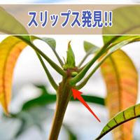 【マンゴーの害虫】これがマンゴーの憎き宿敵「スリップス(チャノキイロアザミウマ)」だ! | 花徳マンゴー