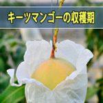 【キーツマンゴーの食べ頃】緑色のマンゴー(グリーンマンゴー)の収穫期が近づいてきたようです!
