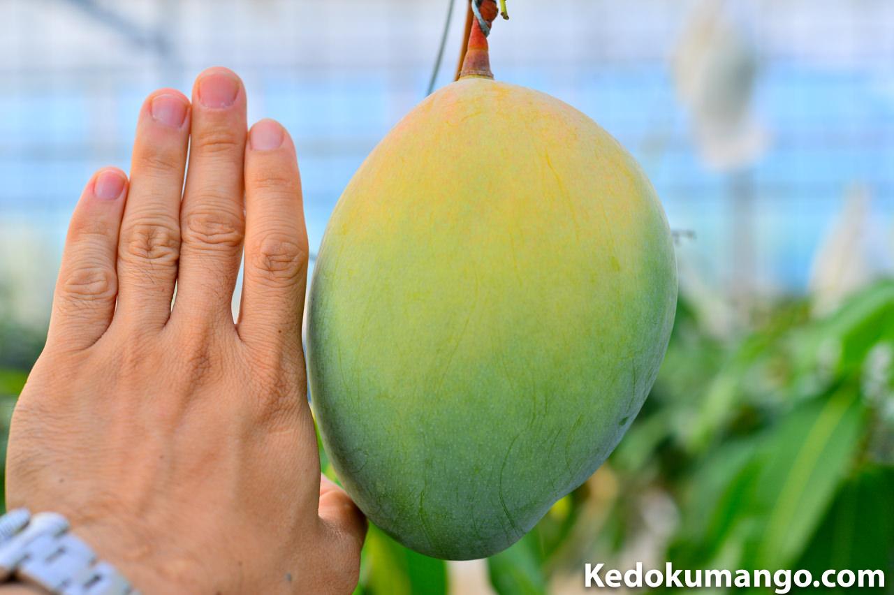 キーツマンゴーと手の比較
