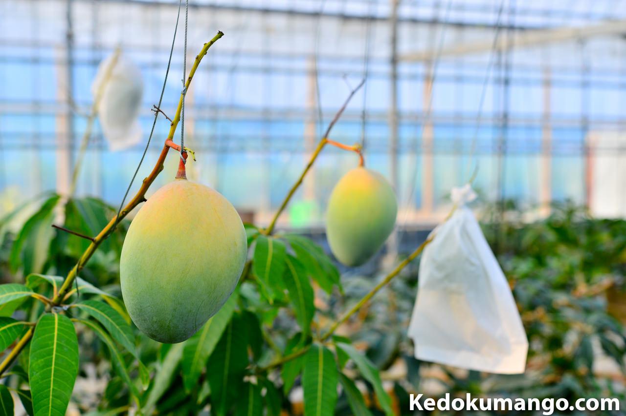 キーツマンゴーの果実