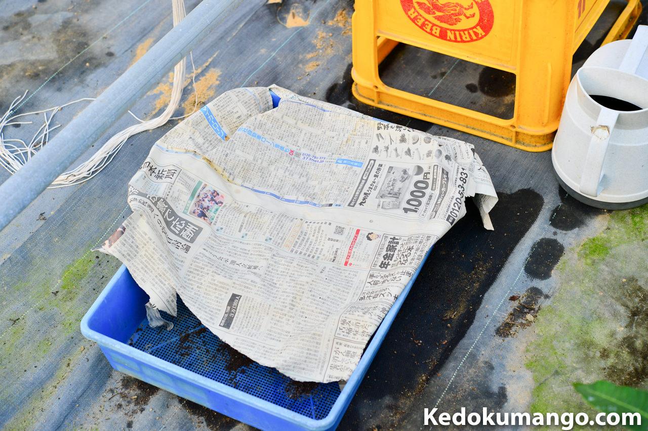 新聞紙を被せた育苗ポットの管理状態