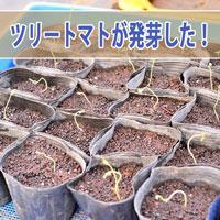 【ツリートマト】種まきから中4日で発芽してきたよ! | 花徳マンゴー