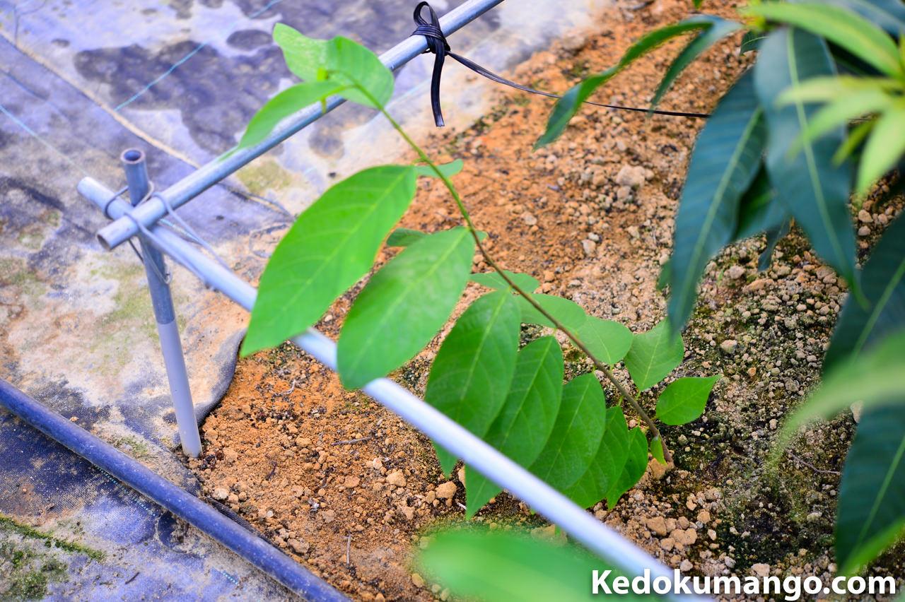 マンゴーの隣で育つアテモヤの苗木