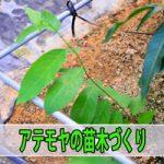 【チェリモヤ・アテモヤ栽培】実生苗づくりに挑戦中です!