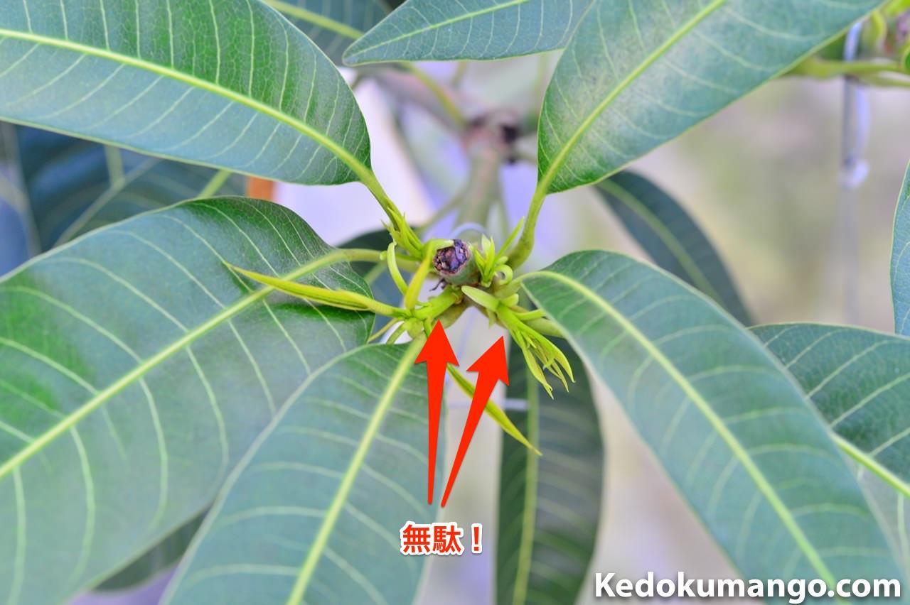 マンゴーの新芽が吹き出した所