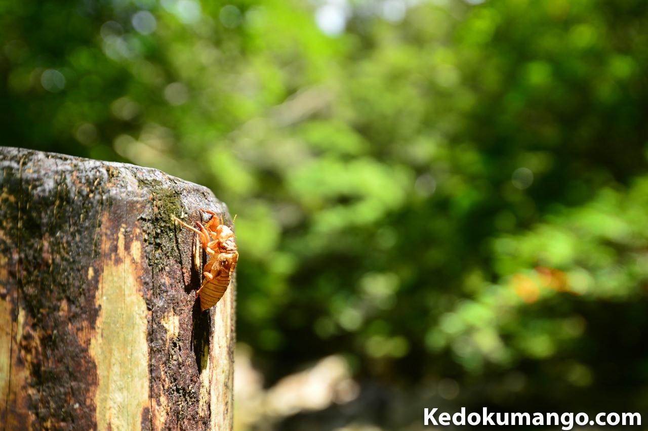 マテリヤ滝で見つけた蛹