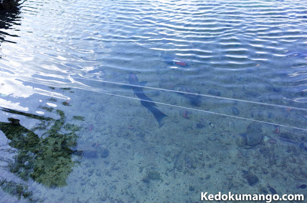 山羊島ホテルの池で泳ぐ魚