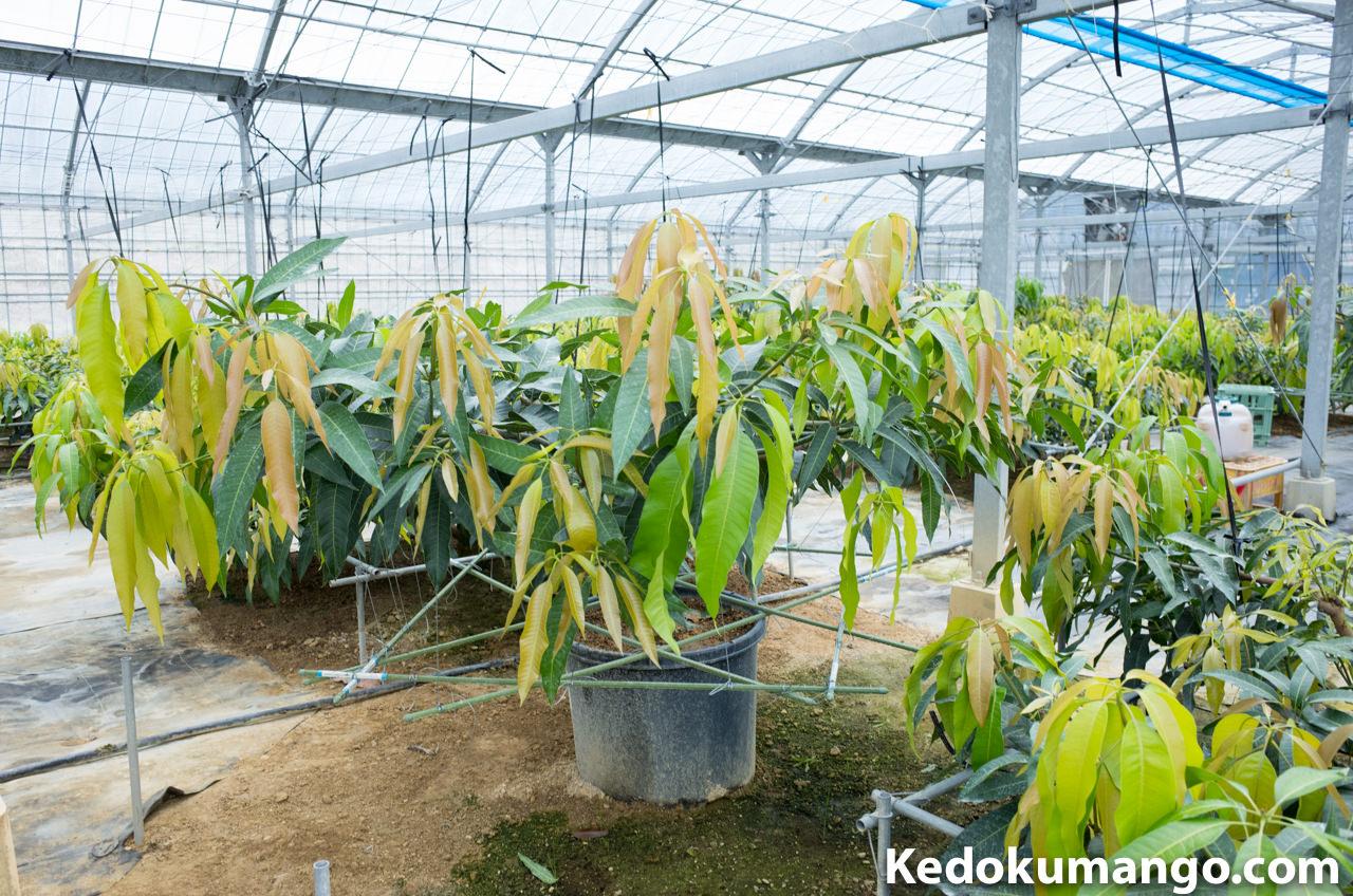 ポット栽培のマンゴー