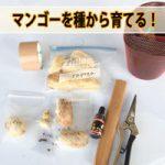 【マンゴー栽培】マンゴーの種を植えて苗木を作ってみるぞ!