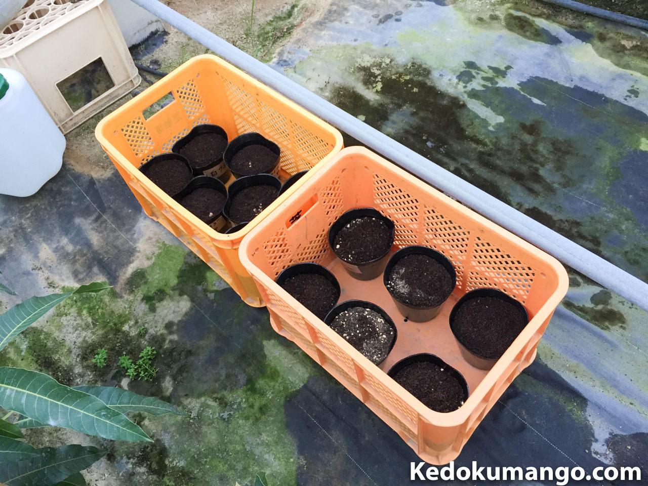 ビニールハウスに運んだマンゴーの種
