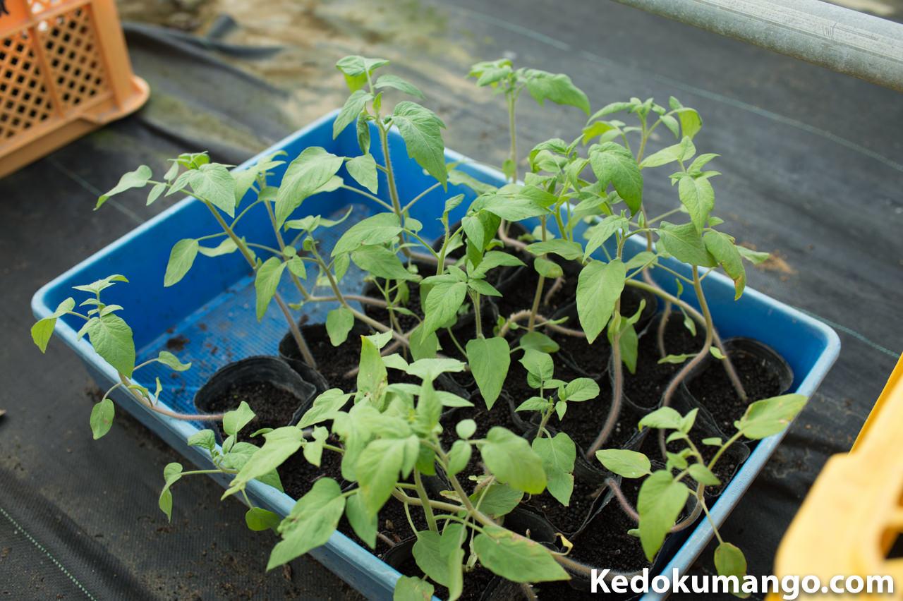 「タマリロ(ツリートマト)」の苗木