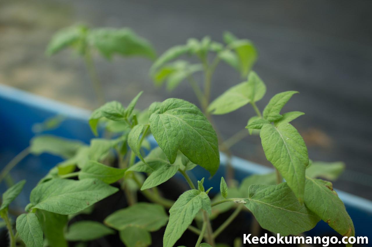 幼い「タマリロ(ツリートマト)」の葉