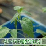 【ツリートマト】タマリロ(ツリートマト)の苗を上手に作ることができました!