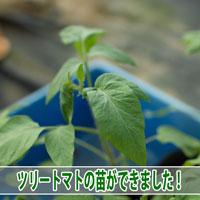 【ツリートマト】タマリロ(ツリートマト)の苗を上手に作ることができました! | 花徳マンゴー