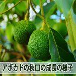 【アボカド栽培】9月中旬のアボカドの木の成長の様子をご紹介!