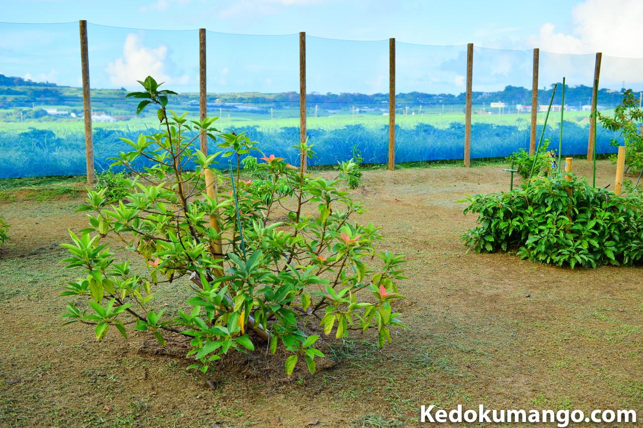 アボカド(ベーコン)の木