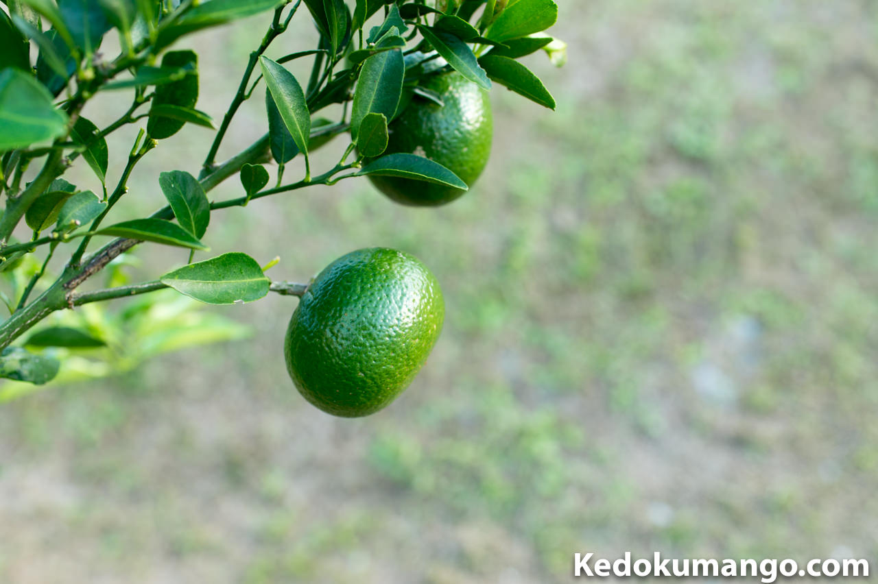 緑の濃い「オレンジの果実」と「オレンジの葉」