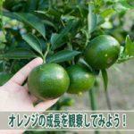 【オレンジ】4月の着果から順調に肥大する「オレンジ」の様子!