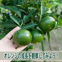 【オレンジ】4月の着果から順調に肥大する「オレンジ」の様子! | 花徳マンゴー