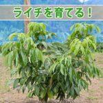【ライチ】小さな苗木から育て始めた「ライチ」の成長の様子をご紹介!