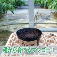 【マンゴーの種】種から植えた「Pirie(ピリエ)マンゴー」が発芽したよ! | 花徳マンゴー